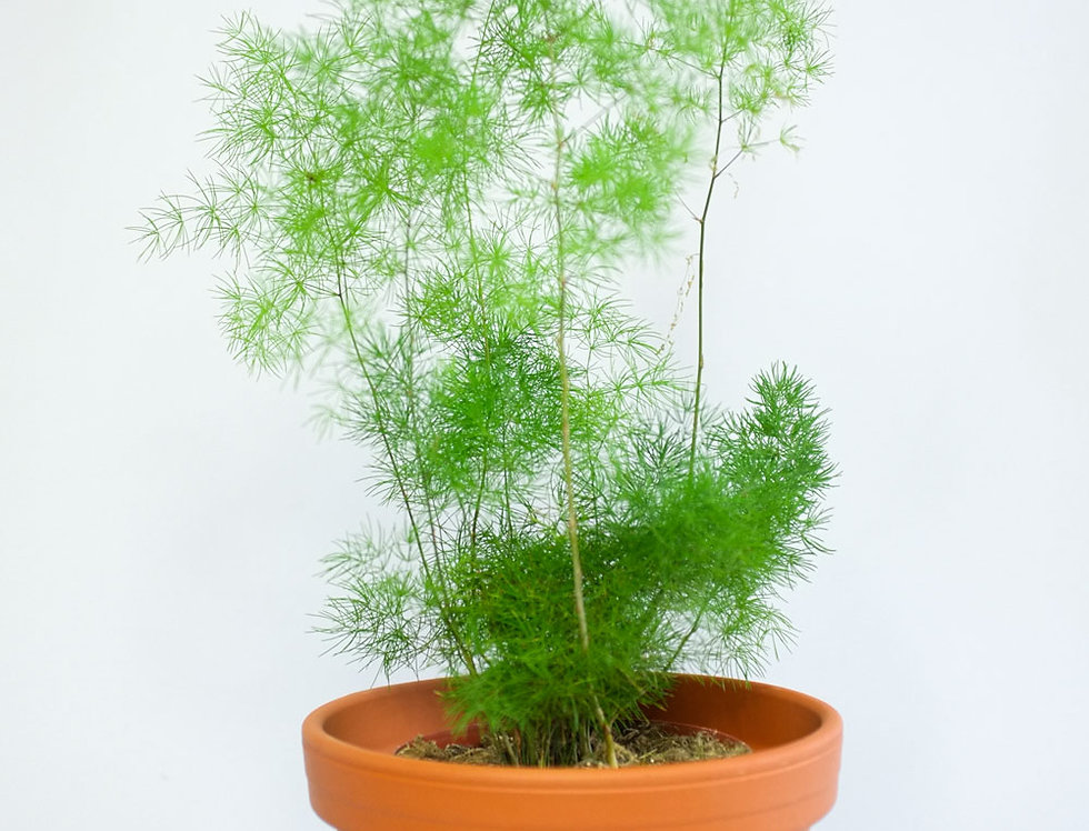 Asparagus setaceus