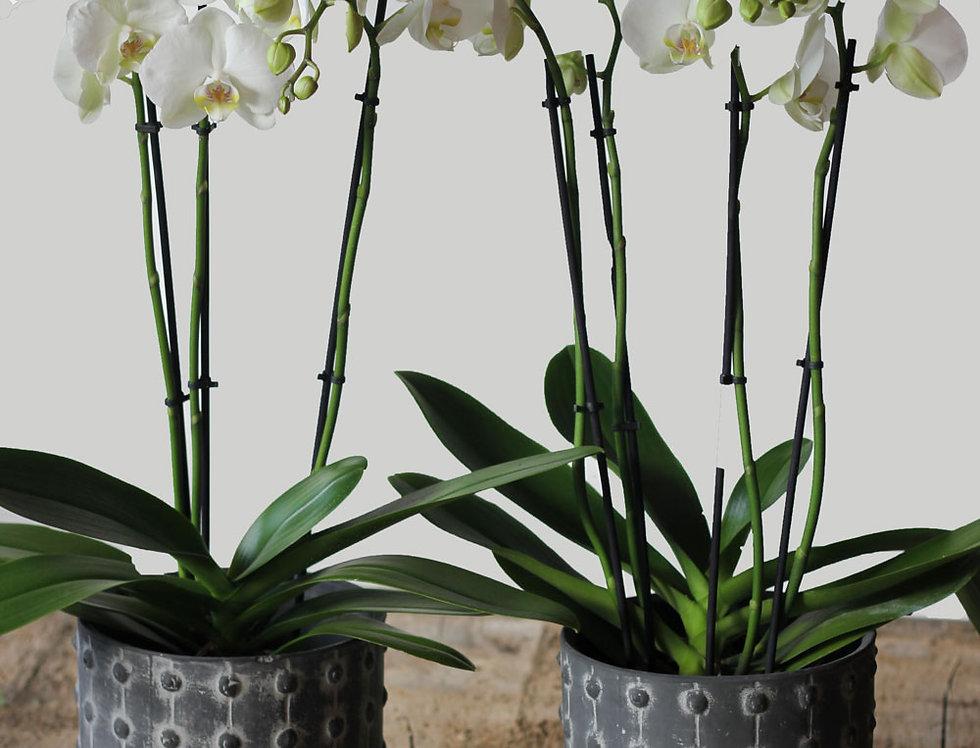 Plantpakket! Vensterbank Orchidee
