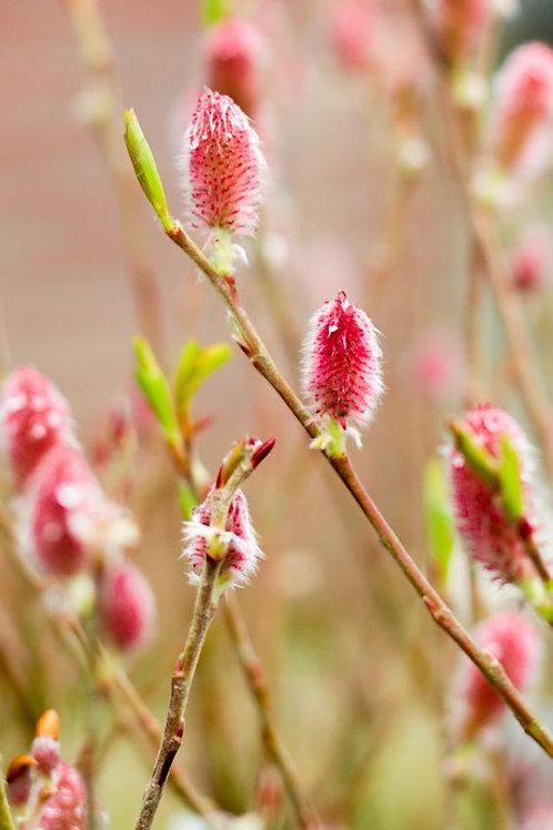 Salix chaenomeloides 'Mount Aso'