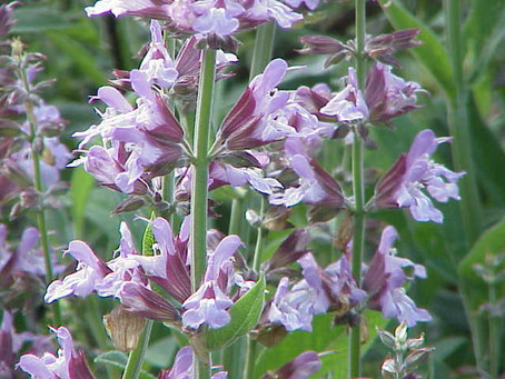 Salvia Abuse: Just Because It Is Natural Doesn't Mean You Should Use It