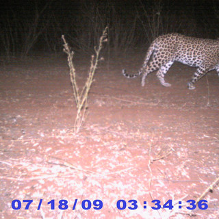 Leopard (camera trap)