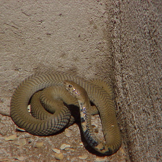 Mozambique Spitting Cobra at Lodge