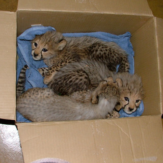 Poor Dottie's cubs rescued after her tragic death