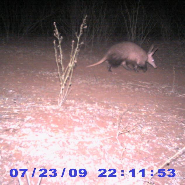 Aardvark (camera trap)