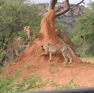Playtime on a termite mound