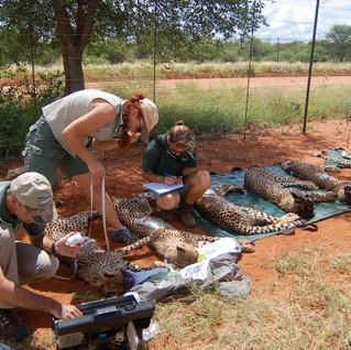 The cubs are microchipped, treated for ticks, vital statistics are recorded. Jane stands by with water to keep them cool.