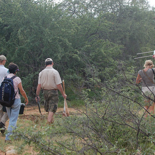 Tracking Dottie for re-collaring with Jane, Dr. Peter Caldwell (carrying dart gun), Deon Cilliers (with impala leg for bait) and Rox with telemetry antenna