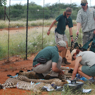 The cubs are tranquillised one by one and carefully monitored by Dr. Peter Caldwell, Kelly, Luke and Narinda