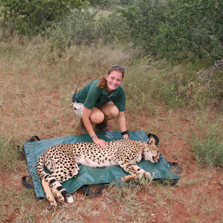 Bubbles has been safely tranquillised for her departure from Makulu Makete.  Bubbles and Narinda have been through a lot together, but this is the very first time that Narinda has touched her beloved cheetah.