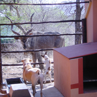 Kudu bull teases Muscles and Sharp in their pen