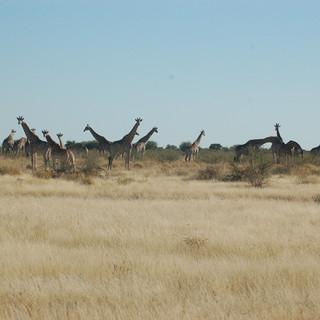 Giraffes, Central Kalahari