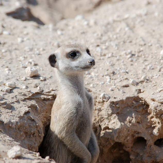 Meerkat sentry, entrance to Central Kalahari Game Reserve