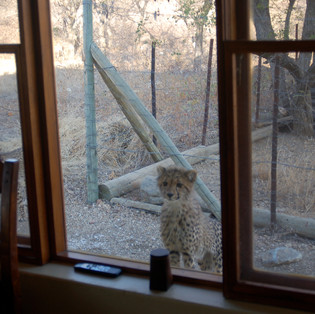 Cheetah cub at bedroom window, Manager's cottage