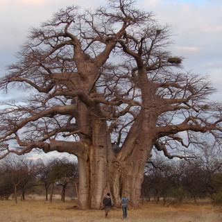 The Big Baobab in winter