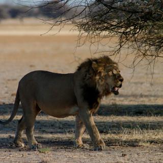 Lion at Tau Pan, Central Kalahari