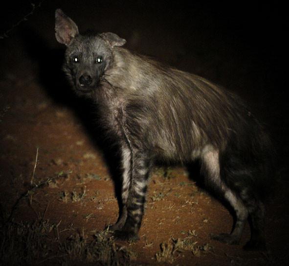 Brown hyena, Lefty
