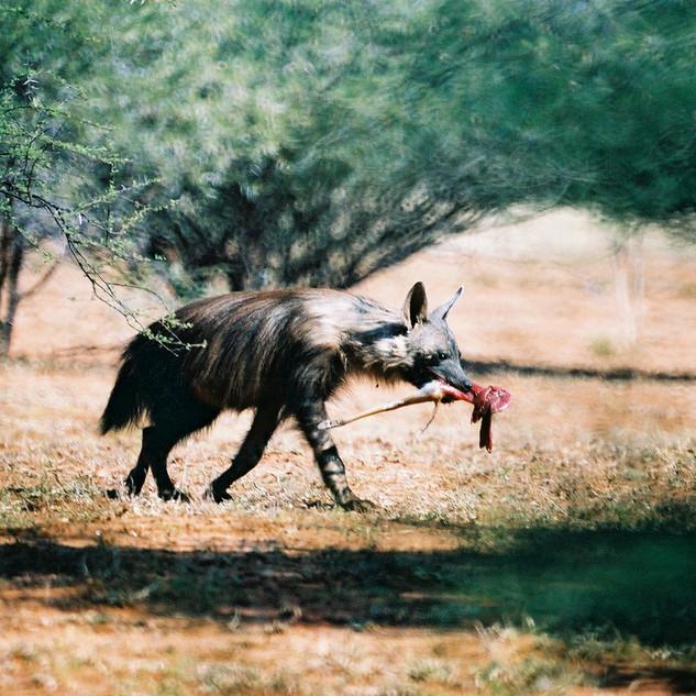 Hyaena carrying impala leg