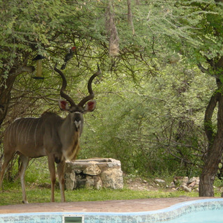 Kudu bull at Lodge swimming pool