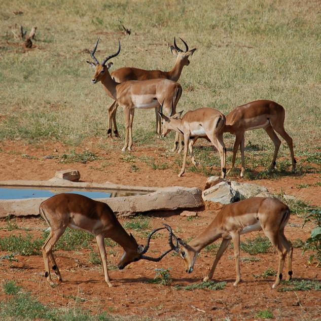 Impala at Lodge waterhole