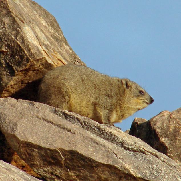 Dassie (rock hyrax)
