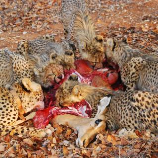 The cheetahs demolish an impala kill