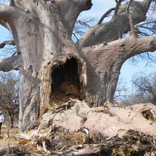 The Big Baobab split