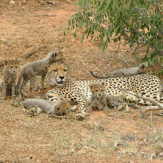 All five cubs with their patient mother