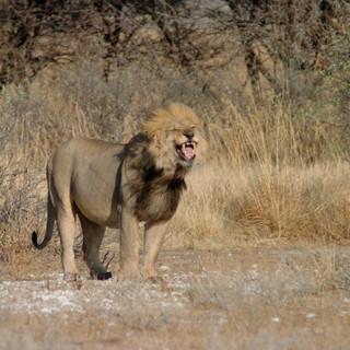 Lion at Tau Pan - Flehman reaction