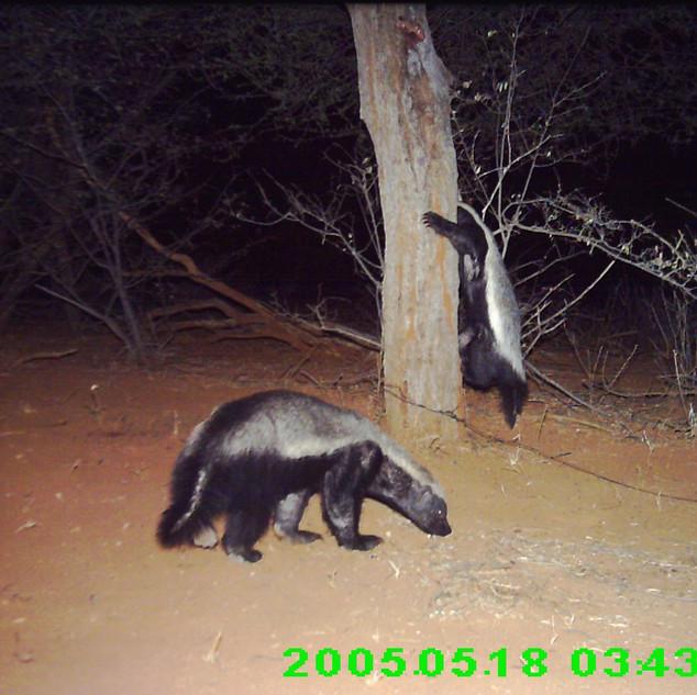 Ratel (honey badgers) caught on camera trap