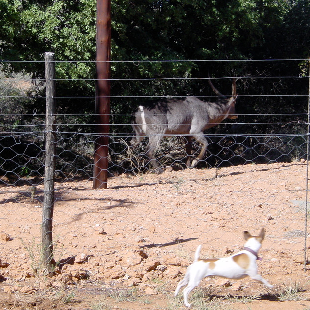 Muscles sees off waterbuck at Bushbuck Cottage