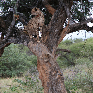 The cubs are strong enough now and adventurous enough to follow Bubbles up the tree