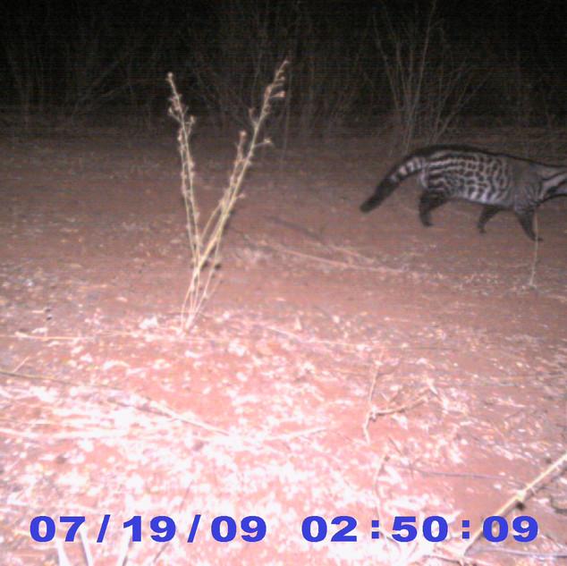 Civet (camera trap)