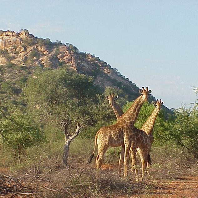 Giraffe at Kremetartkop