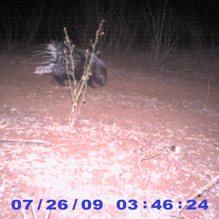 Porcupine (camera trap)