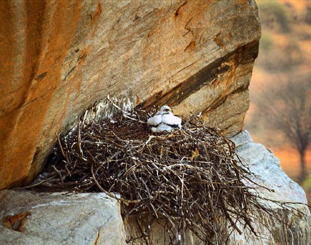 Verreauxs' Eagle chick on Kremetartkop