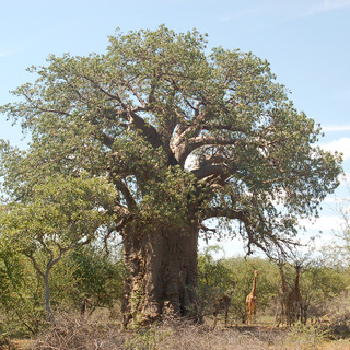 Baobab and giraffes