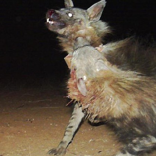 Camera Trap photo of Oubaas fighting
