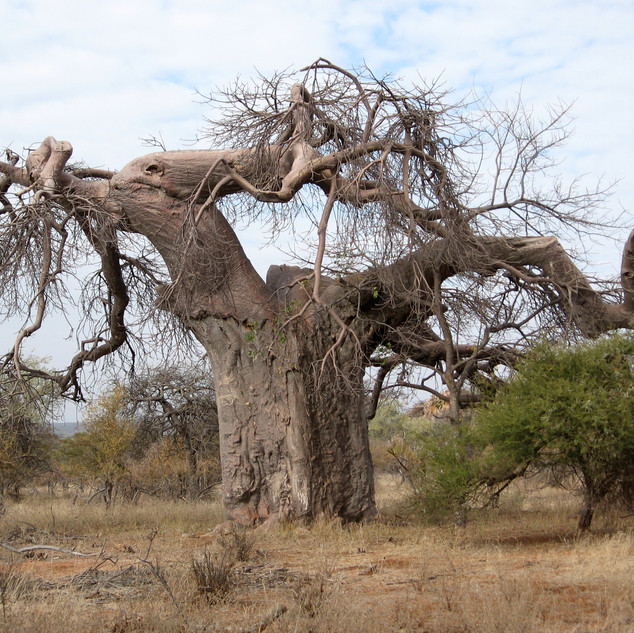 The Elephant Baobab - can you see why?
