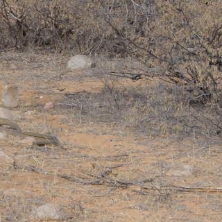 A rare sight - deadly Black Mambas' mating ritual