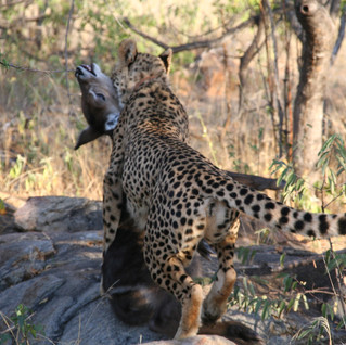 Bubbles drags a waterbuck calf she has killed to feed the cubs