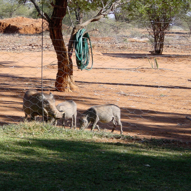 Warthogs eyeing the grass at Bushbuck Cottage