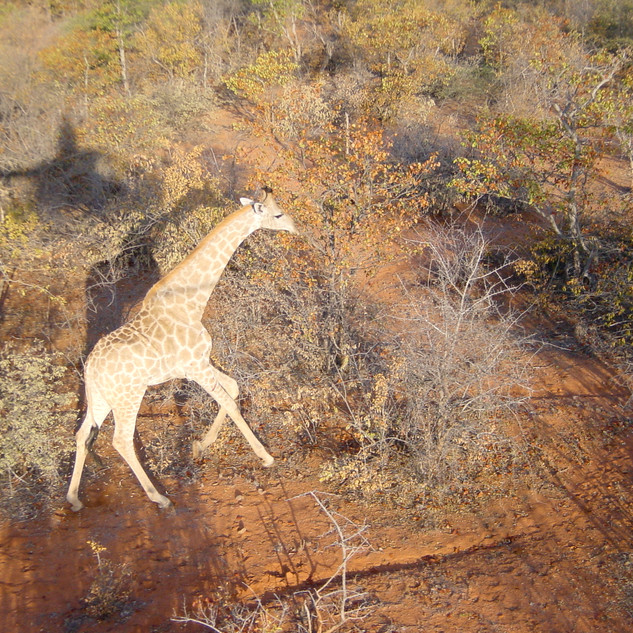 Rounding up escaped giraffe by helicopter