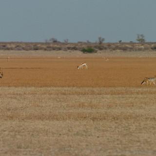 Tau Pan - lion, jackal and springbok