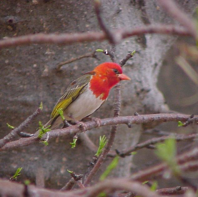 Red Headed Weaver Male