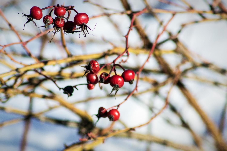 Winter Berries III