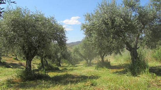 Certificação bio, azeite bio, produção local,azeite biológico
