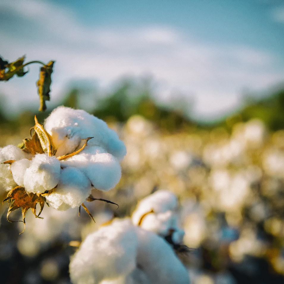 Cotton Extract