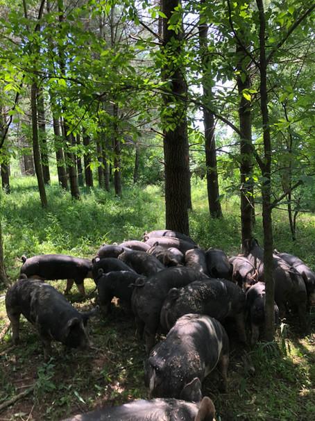 Earth Healing, Regenerative Pork