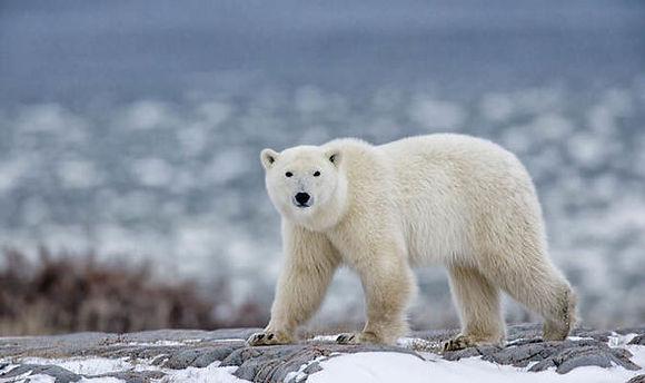 Polar-Bear-924655.jpg
