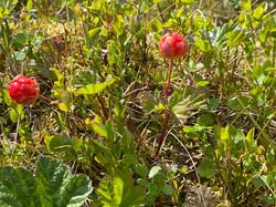Hjortron - Moltebeere - Cloudberry